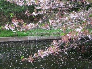 Рассматривая хрупкие цветы сакуры