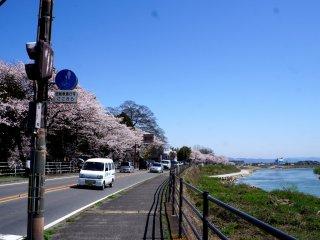 도게츠교까지 가는 길에도 벚꽃이 만발했어요.