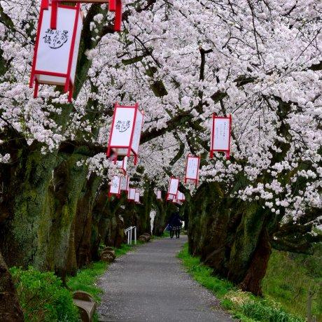 Cerejeiras ao Longo do Rio Asuwa