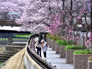 A couple looking at a map on the sidewalk of Asuwa River surrounded with beautiful cherry blossoms