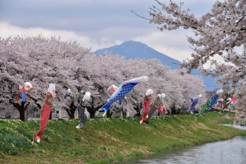 <p>Over a narrow river, 15 rows of 7 carp streamers are set up</p>