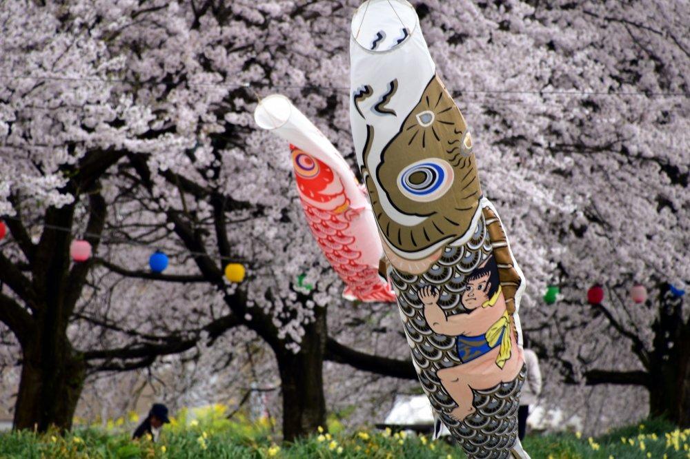Đứa trẻ đang ôm một con cá chép màu vàng đen có lẽ là Kintaro (Cậu bé Vàng) trong văn học dân gian Nhật Bản. Cậu là biểu tượng của một bé trai khỏe mạnh. Do cờ cá chép được treo lên vào Ngày Bé trai vào ngày 5 tháng 5 nên hình ảnh Kintaro phải được vẽ lên một trong số đó để cầu nguyện cho các bé trai phát triển thành những người đàn ông khỏe mạnh.