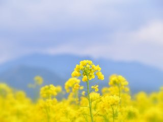 夢見る菜の花