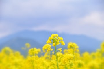 공상에 잠기는 노란 꽃들