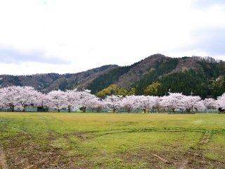 Bunga sakura yang tengah mekar di taman dilihat dari kejauhan pinggir sungai