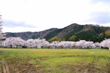 근처 강둑에서 바라본 공원 벚꽃