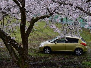 Mobil ku diparkir sendirian di area hijau yang luas dihiasi sakura mekar. Mereka semua adalah milik saya!
