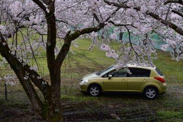 내 차는 아름다운 벚꽃으로 장식된 널찍한 녹색공원에 혼자 주차했다. 다 내 거야!