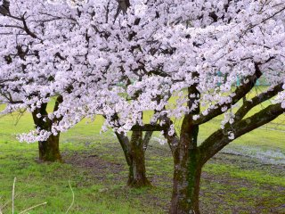 Melihat kebawah ke sekumpulan pohon sakura cantik dari bahu sungai