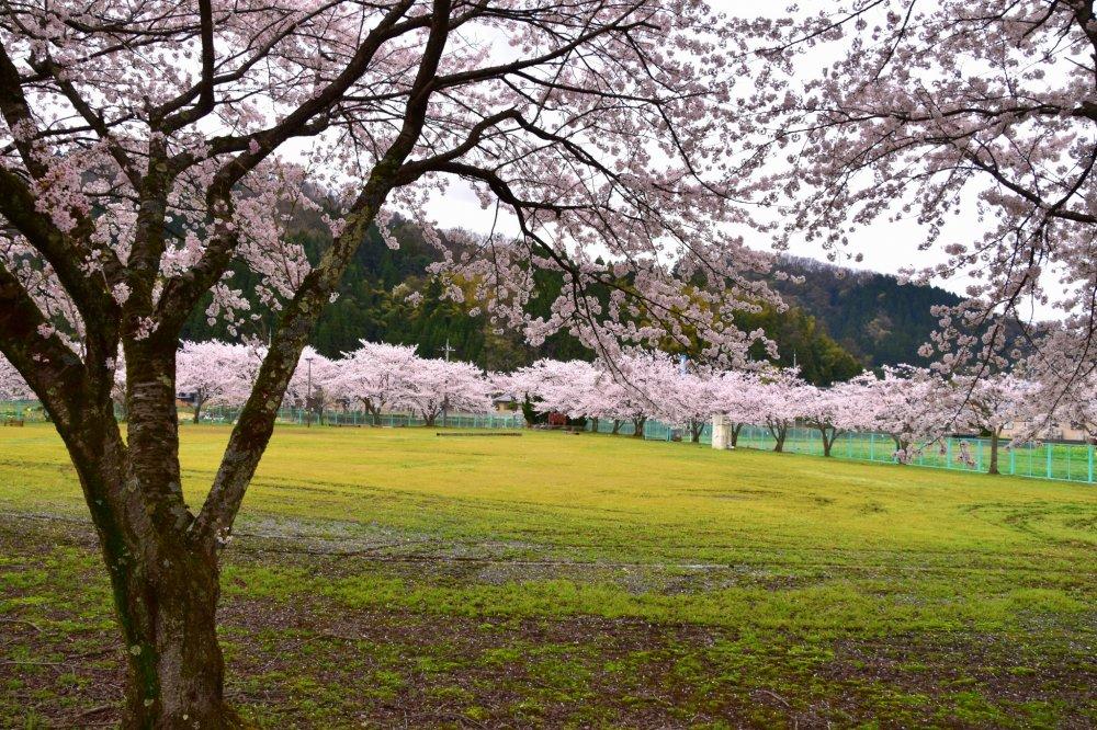 Area terbuka hijau yang dikelilingi pohon bunga sakura yang tengah mekar penuh