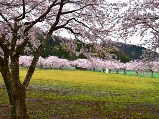 활짝 핀 분홍색 벚나무로 둘러싸인 초록빛 야외 공간