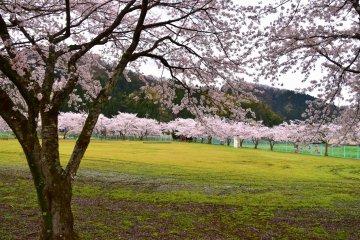 후쿠이, 비밀의 하나미 광장