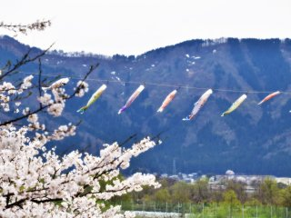 ริ้วประดับปลาคาร์ฟ ดอกซากุระ และภูเขาหิมะในเมืองคัตซึตยะมะ