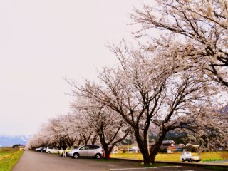 Endless rows of cherry trees in full bloom