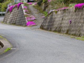 ดอก Shibazakura หรือ moss phlox จะพบอยู่ทั่วไปในสวน