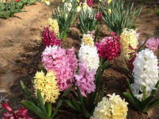 You can even find hyacinths here