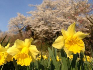 Daffodils and cherry blossoms