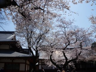 Because sakura, beyond being beautiful, they make you put things in perspective. Nothing lasts forever, right?