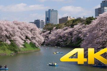 도쿄 고쿄 주변 벚꽃