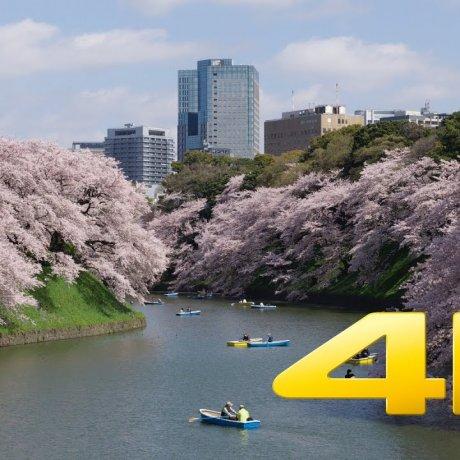 Sakura dekat Tokyo Imperial Palace