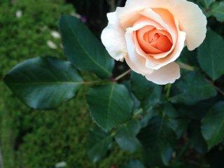 Очень нежный бутон светло-розового цвета