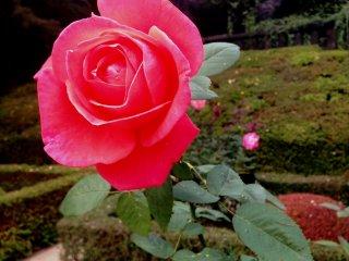 Роза красного цвета источала сладковатый запах и привлекла мое внимание
