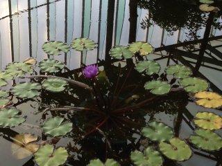 Одинокая водяная лилия