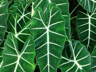 Эти листья с прожилками очень красивые и приятные на ощупь