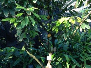 Эти желтые и зеленые плоды - зрелые и еще не зрелые какао-бобы