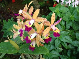 Желтые орхидеи дендробиум
