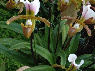 Пафиопедилум - это орхидея-башмачок с сумчатым цветком, единственная орхидея, которая растет в земле, а не прикреплена к дереву