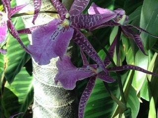 Одонтоголоссум с хищной расцветкой. Некоторые сорта более пятнистые, у этого же пятна сливаются в полоски