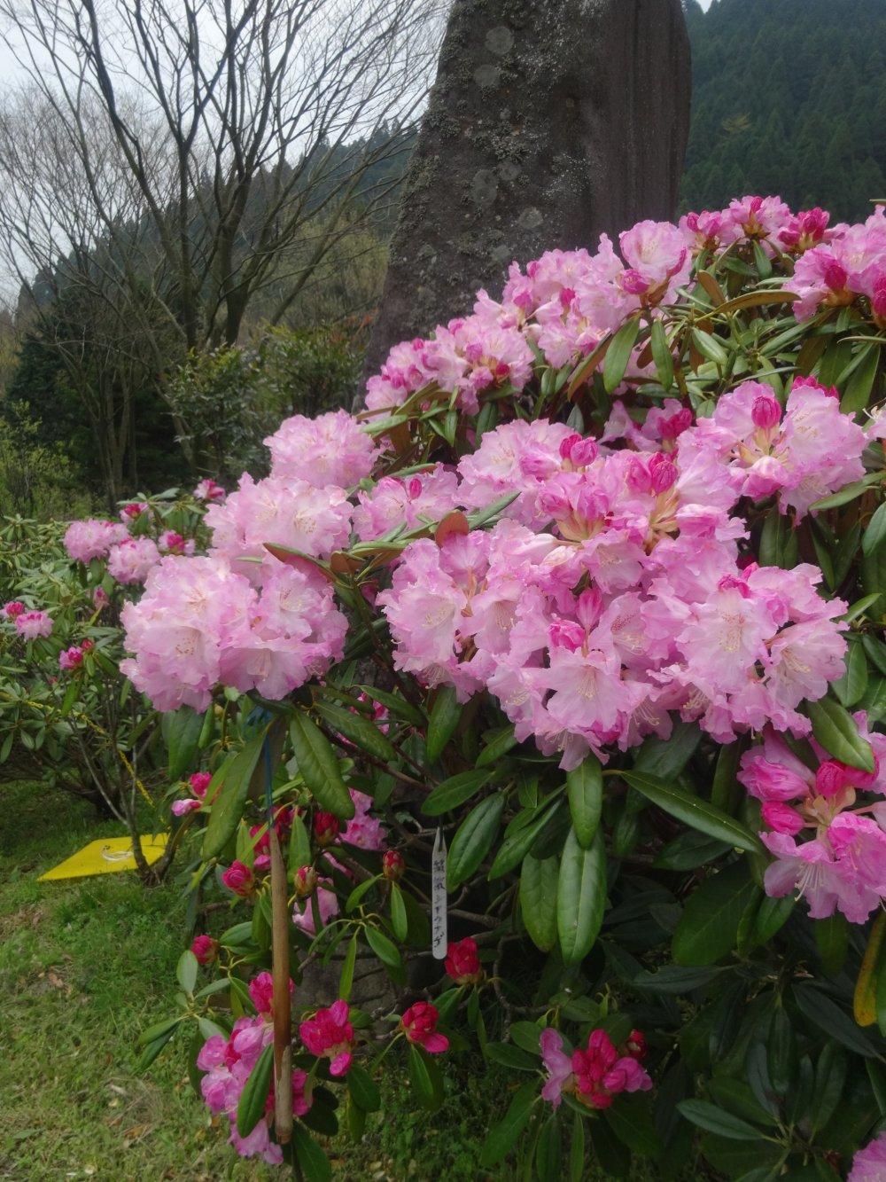 ดอกไม้จะพากันบานในเดินเมษายนและพฤษภาคม