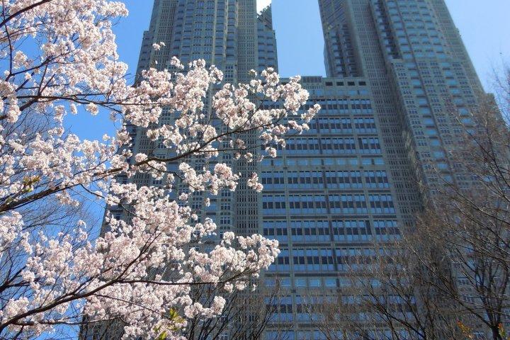 A l'Ombre des Cerisiers en Fleurs