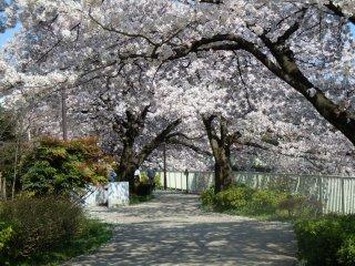 Les cerisiers vous offriront leur plus belle révérence