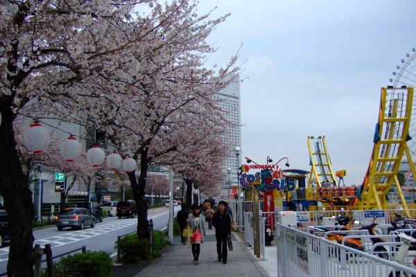 สวนสนุก Cosmowolrd และต้นซากุระริมอ่าวมินาโตะมิไร