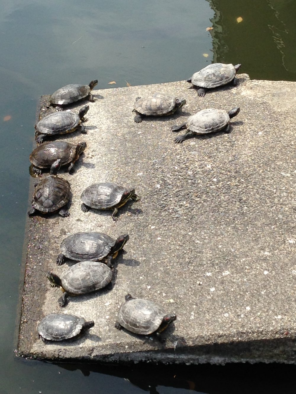 Красавицы черепахи вылезли погреться на солнышке