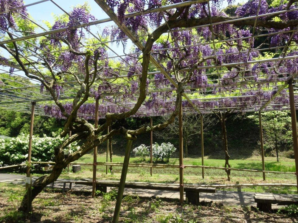 A wisteria trellis near the end of the park