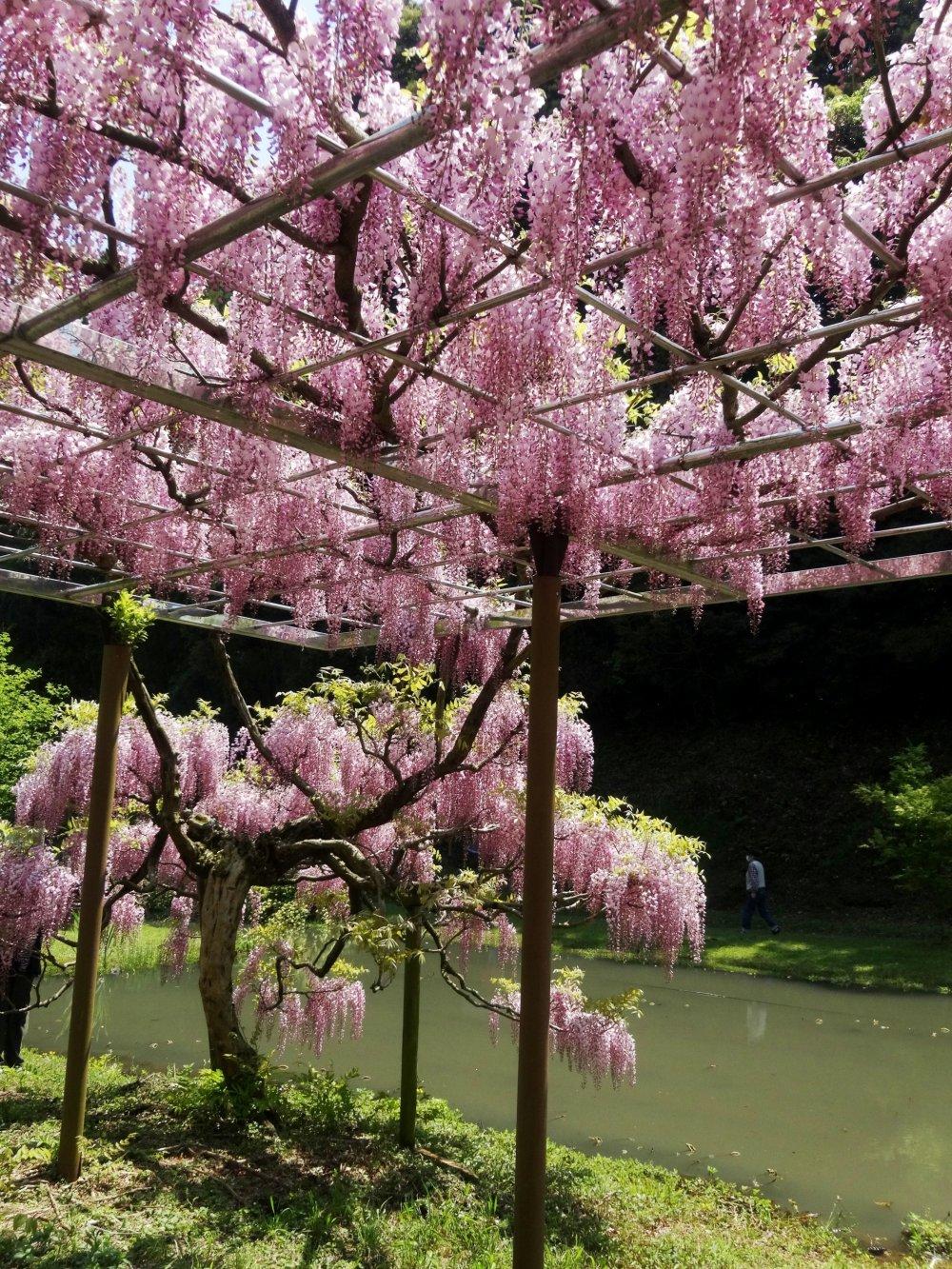 A rare pink wisteria