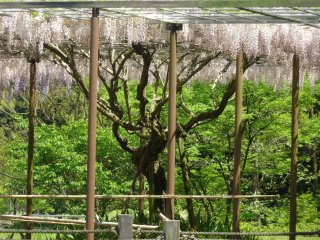 The garden has at least five distinct varieties of wisteria