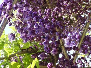 The dark purple variety - also one of the rarer varieties - was the most impressive