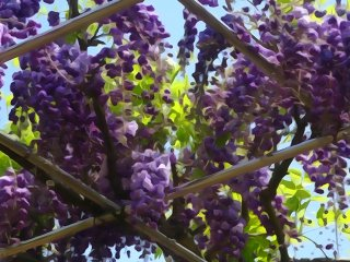 This color of wisteria is only found in a few places in Japan