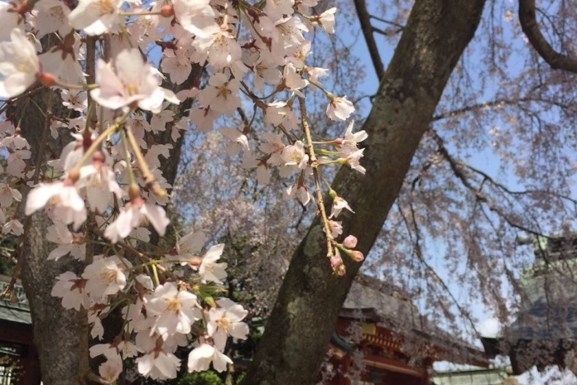 Cherry blossoms at Shiogama Shrine