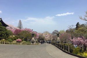 One of the less crowded hanami areas around Sendai