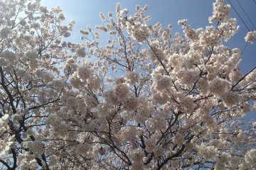 <p>The sakura trees in full bloom</p>