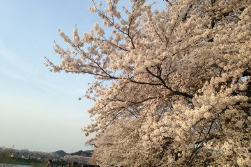 <p>Ogawara&nbsp;sakura trees in full bloom</p>