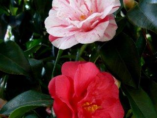 Велено было посадить красные розы (ну ладно, камелии), а выросли белые... С красными прожилками