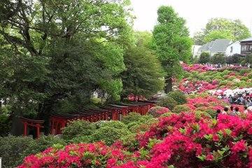 Nezu Shrine – Azaleas on a Hill