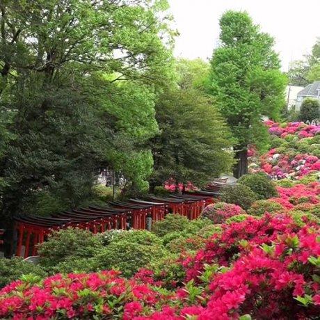 根津神社 - 山丘上的杜鵑花