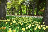 Yokohama: Hoa tulip thoảng trong gió